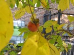 First Fruits: Persimmons return to the Library Garden.  Photo by Judy Funderburk