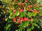 Winterberry before leaf drop.