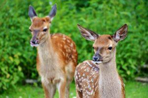 Two wild deer
