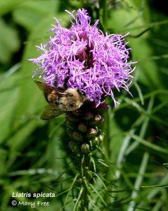 Liatris spicata & Bee: Mary Free