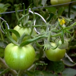 Moneymake Tomato. Photo: Mary Free.
