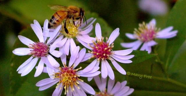 European honey bee (Apis mellifera) on blue wood aster (Symphyotrichum cordifolium) © Mary Free
