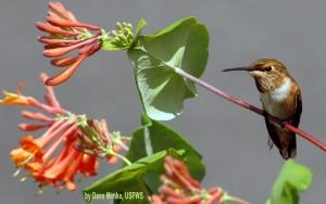 Rufous Hummingbird on Lonicera