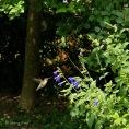 Female Ruby-throated Hummingbird Sunny Garden