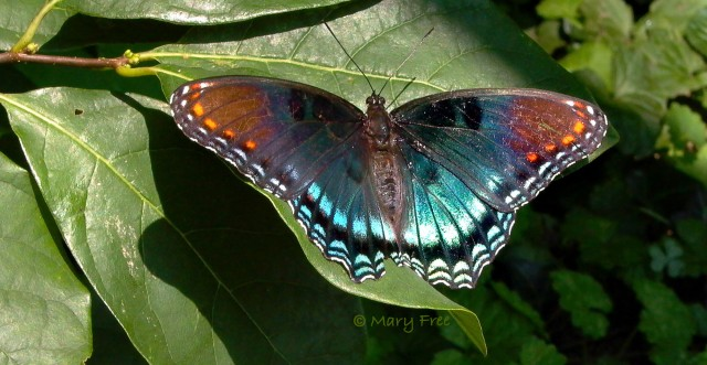 3 Red-Spotted Purple on MagnoliaC