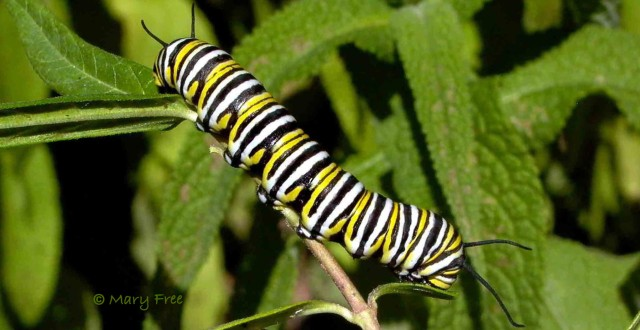 Monarch caterpillar (Danaus plexippus) eating Asclepias tuberosa leaves in September. Did it survive to migrate to Mexico and back? © Mary Free