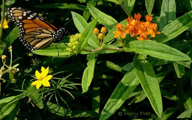 The tattered wings of this monarch—resting on A. tuberosa in July—indicate that it is probably near the end of its life cycle. © Mary Free