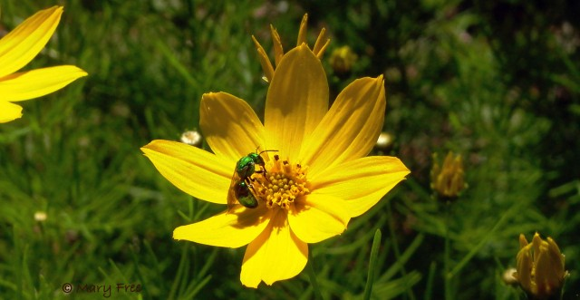 Sweat bee on Coreopsis verticillata
