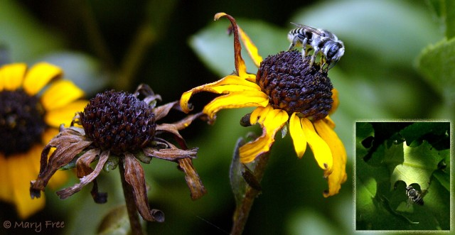 Leafcutter bee on Rudbeckia