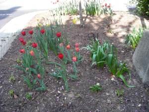 Tulip Phase