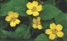 Chrysogonum virginianum, Green and Gold