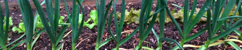 Garlic plants growing