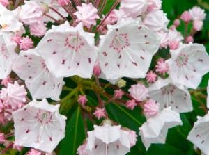 Close up of blooms - Kalmia latifolia, Mountain Laurel