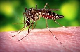 Aides Species Mosquito biting flesh