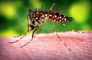Aides Species Mosquito biting flesh