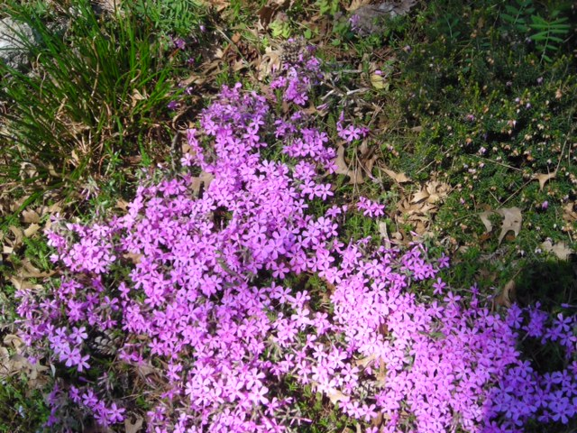 Miniature Creeping phlox
