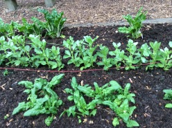 Overwintered Swiss Chard with new fava beans and spinach