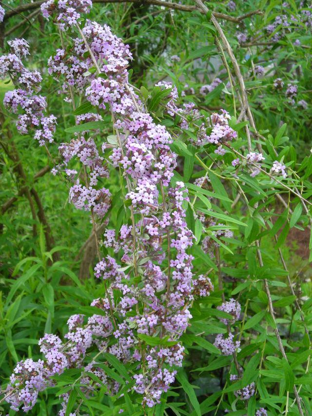 Buddleia alternifolia