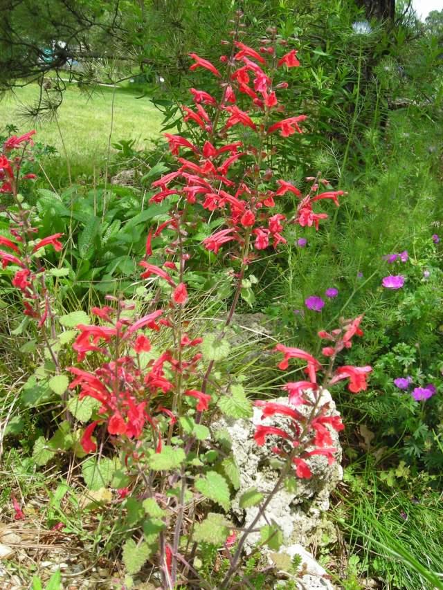 Red Salvia henryi