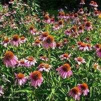 Echinacea planted en masse to attract pollinators in Bon Air Park's Sunny Garden in Arlington