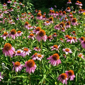 Echinacea planted en masse