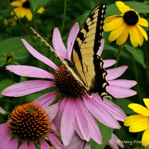 Echinacea with insect