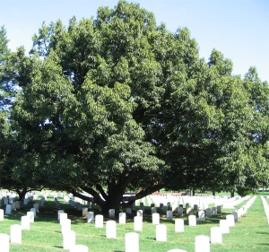 Sawtooth Oak at Arlington Cemetery