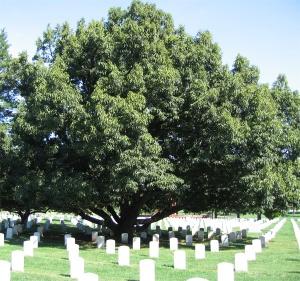 Sawtooth Oak at Arlington Cemetery