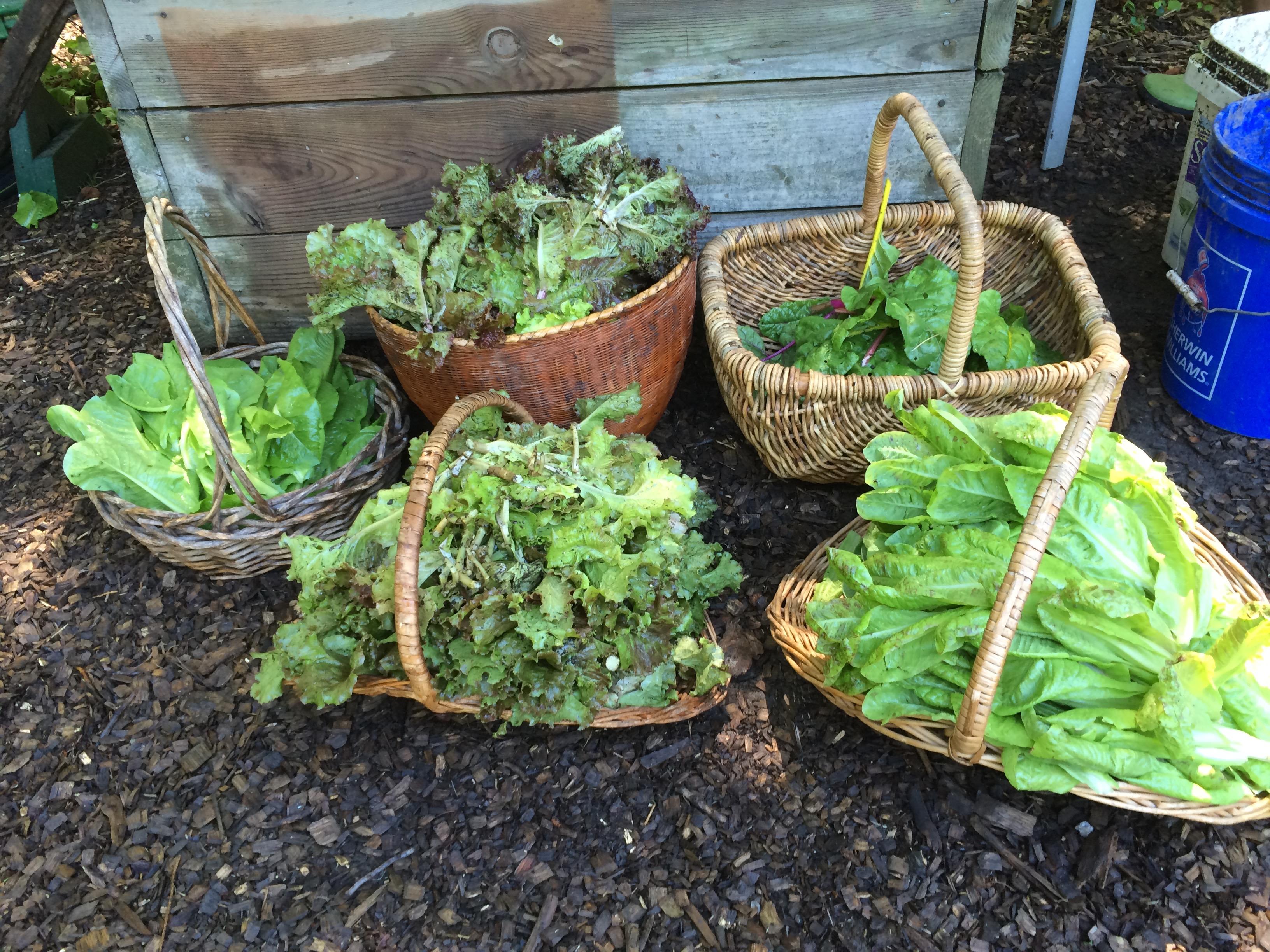 Organic vegetable gardens - Lots Of Lettuce