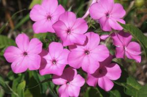 Phlox paniculata, Summer Phlox