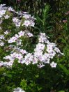 Summer phlox (Phlox paniculata)