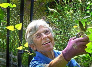 Master Gardener Judy Funderburk reaches to clip the vigorously growing hop vine to keep it from overtaking the gazebo. Photo © 2016 Gerald Martineau