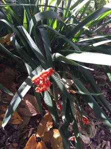 Iris Foetidissima Berries