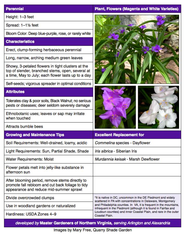 Tradescantia virginiana Spiderwort
