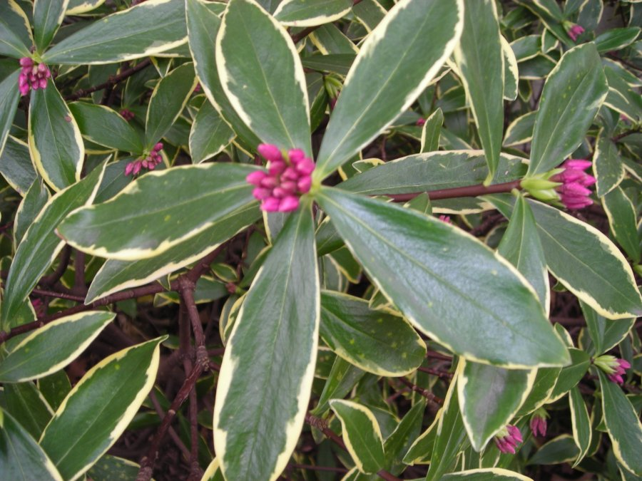 Daphne odora 'Marginata'