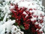 nandina-domestica-snow