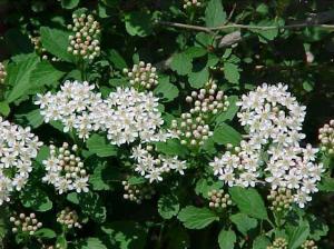 physocarpus-opulifolius
