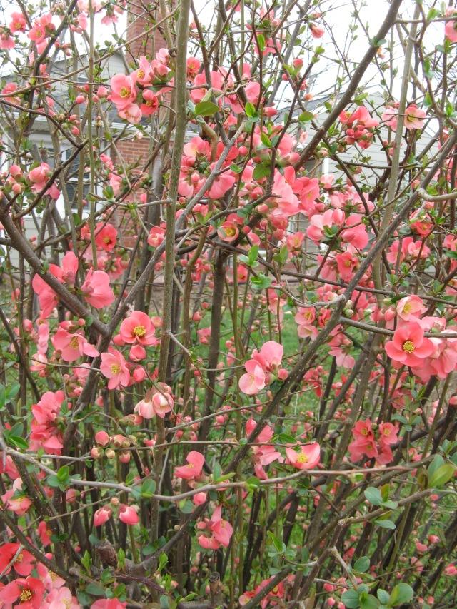 Flowering Quince ( Chaenomeles speciosa)