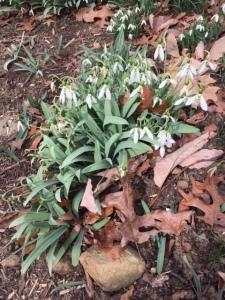 Galanthus elwesii.clump