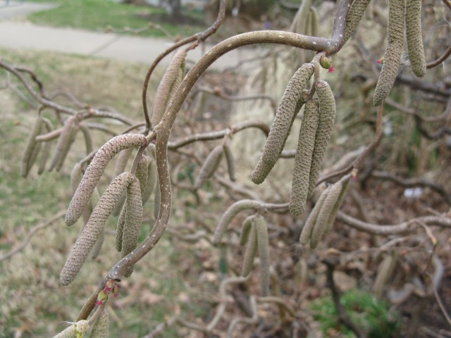 Harry Lauder's Walking Stick (Corylus avellana 'Contorta'')