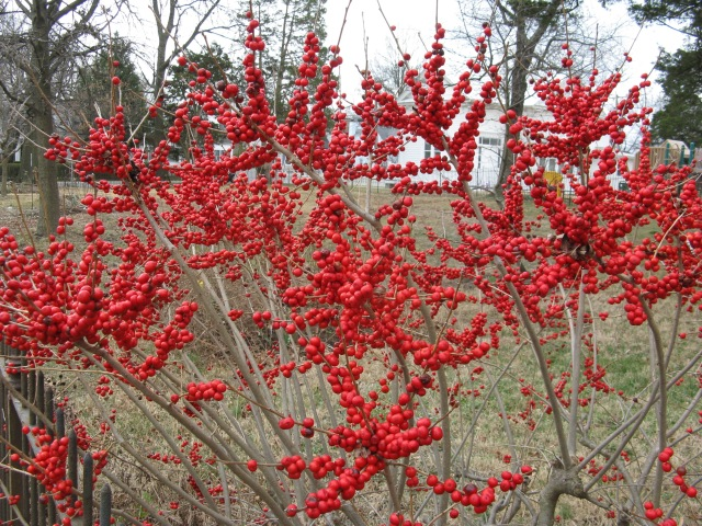 'Red Sprite', the female Winterberry Holly (Ilex verticillata)