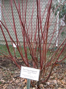 Red Twig Dogwood 'Baileyi