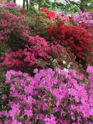 Brilliant colors of azaleas in mid-April