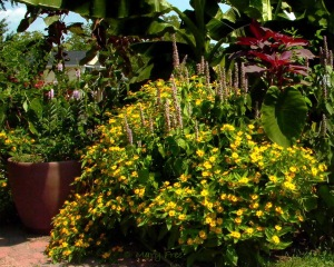 The yellow-flowered melampodium brightens the landscape at the Glencarlyn Library Community Garden