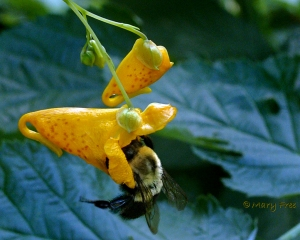 Jewelweed with Bumble Bee