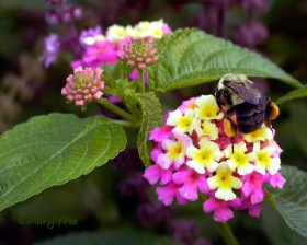 A common eastern bumble bee forages on Lantana camera