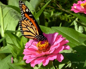 Zinnia with Monarch