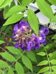 Wisteria frutescens (American Wisteria). Photo © Elaine L. Mills, 2016-05-25, private garden, Arlington, Virginia.