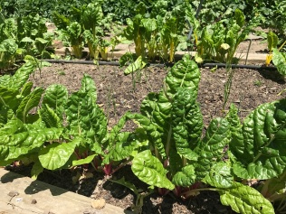 Chard bordering seeded onlons and leeks.