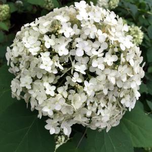 SHRUB: Hydrangea arborescent Image by Elaine Mills